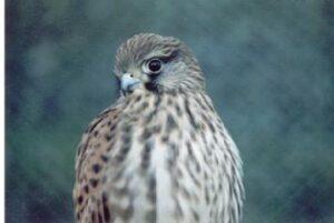 Pierwszy ptak jakiego układałem pod okiem kolegów sokolników - pustułka rehabilitant wypuszczona na wolność :)